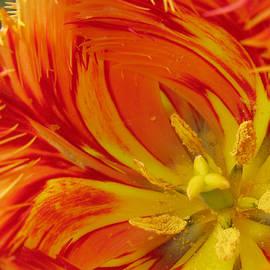 Ausra Paulauskaite - Striped Parrot Tulips. Olympic Flame