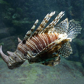 Striped Rhino Fish