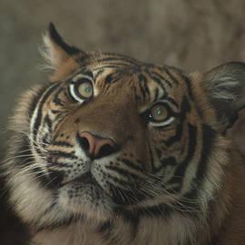 Jill Mitchell - Sumatran Tiger Headshot