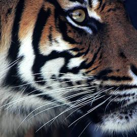 Miroslava Jurcik - Sumatran Tiger -  Jumilah
