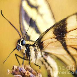 Darren Fisher - Summer Butterfly