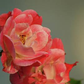 Margie Avellino - Summer Roses