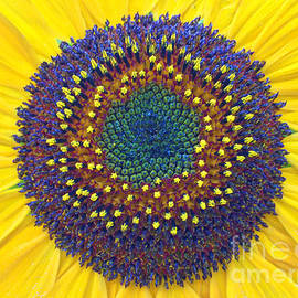 Todd Breitling - Summer Sunflower