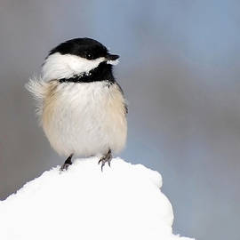 Christina Rollo - Summit - Black-Capped Chickadee