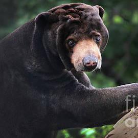 Gary Gingrich Galleries - Sun Bear-8177