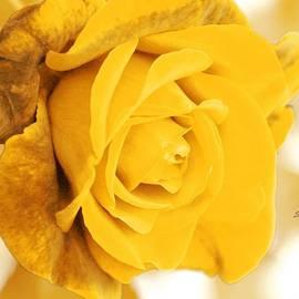 Athala Carole Bruckner - Sun Kissed Rose