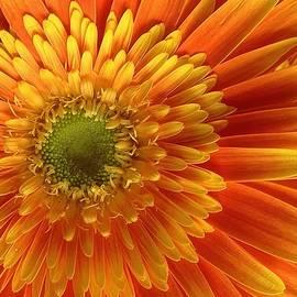 Bruce Bley - Sun Lit Gerbera Daisy