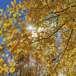 Priscilla Burgers - Sun Star Through Glowing Aspen