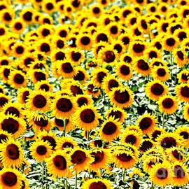 Casavecchia Photo Art - Sunflower Abundance