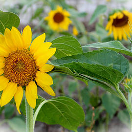 Cynthia Guinn - Sunflower Art