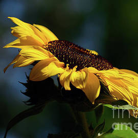 Kaye Menner - Sunflower at Sunset by Kaye Menner