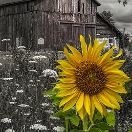 Debra and Dave Vanderlaan - Sunflower at the Farm