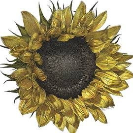 Sunflower Drawing in Color
