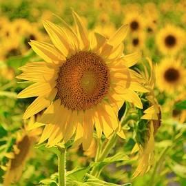 Dennis Nelson - Sunflower Field