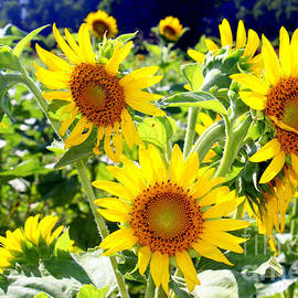 Kathy  White - Sunflower Field