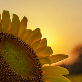 Jim Finch - Sunflower Greeting the Rising Sun