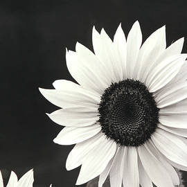 John Harmon - SunFlower in Black and White