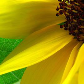 Juergen Roth - Sunflower Petals