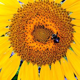Natalie Holland - Sunflower Petals