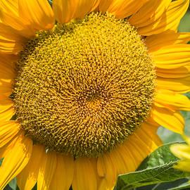 Robin Zygelman - Sunflower