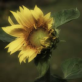 Richard Cummings - Sunflower Romantica