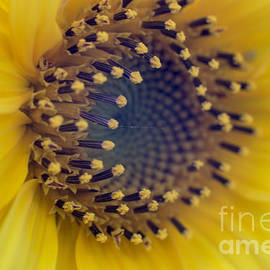 Sebastien Coell - Sunflower