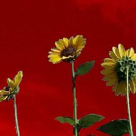 Jacquie King - Sunflower Sunset