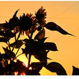 Tina M Wenger - Sunflowers And Sunset