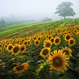 Debra and Dave Vanderlaan - Sunflowers at the Farm