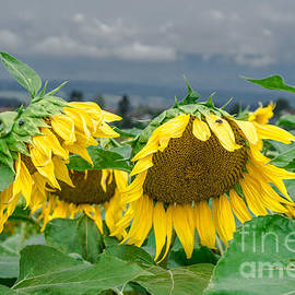 Michelle Meenawong - Sunflowers On A Rainy Day