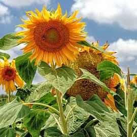 Uri Baruch - Sunflowers