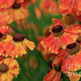 Tracy Hall - Sunkissed Heleniums