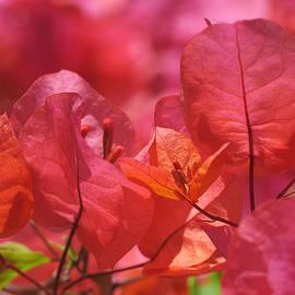 Rona Black - Sunlit Pink-orange Bougainvillea