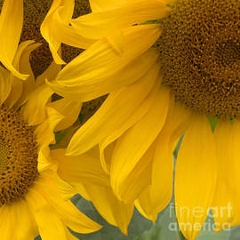 Ann Horn - Sunlit Sunflower Trio