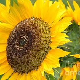 DejaVu Designs - Sunny Sunflowers in Bloom