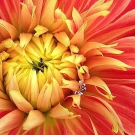 Bruce Bley - Sunrise Dahlia