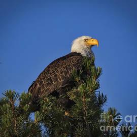 Mitch Shindelbower - Sunrise Eagle