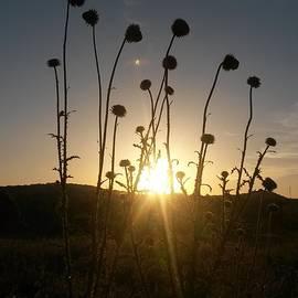 Maria Urso  - Sunrise in a Field of Wild Thistle