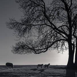 Sunset grazing - Chris Fletcher