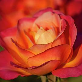 Teresa Wilson - Sunset on the Rose