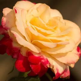 Cathy Donohoue - Sunshine on Roses