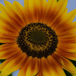 Linda  Howes - Sunshine Sunflower