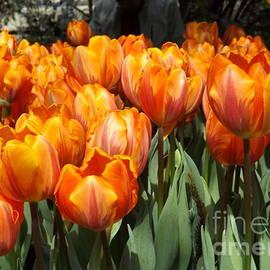 Lingfai Leung - Sunshine Tulip Blossoms