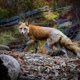 John Haldane - Surprising a Red Fox
