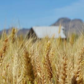 Pamela Patch - Sutter Buttes Wheat