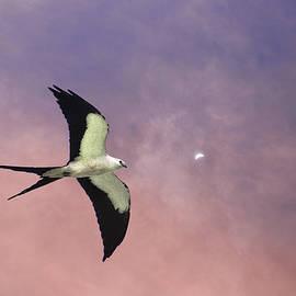 Dick Hudson - Swallow Tailed Kite