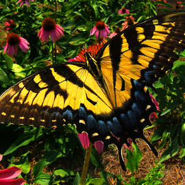 George Bostian - Swallowtail Butterfly 011