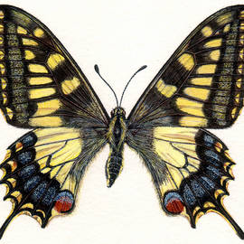 Swallowtail Butterfly - Rachel Pedder-Smith