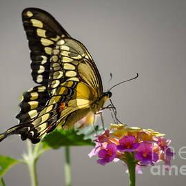 Robert Bales - Swallowtail