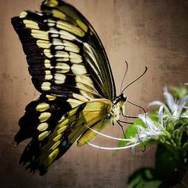 Saija  Lehtonen - Swallowtail